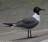 5923 shorebird