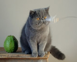 My Exotic Shorthair Cats