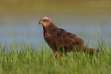 Marsh Harrier (Falco di palude)