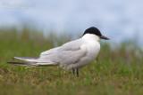 Gull-billed Tern (Sterna zampenere)