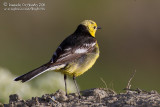 Citrine Wagtail (Motacille citreola - ssp calcarata?)