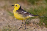 Citrine Wagtail (Motacille citreola ssp citreola)