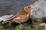 Eurasian Crimson-winged Finch (Rhodopechys alienus)