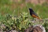 Black Redstart (Phoenicurus ochruros ssp semirufus?)