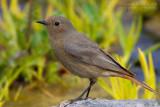 Black Redstart (Phoenicurus ochruros ssp ochruros)