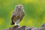 Little Owl (Athene noctua ssp indigena)