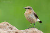 Northern Wheatear (Oenanthe oenanthe ssp libanotica)