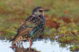 Common Starling (Sturnus vulgaris)