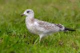 Ring-billed Gull (Gavina americana)