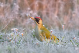Green Woodpecker (Picchio verde)