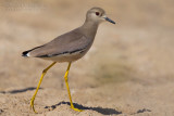 White-tailed Lapwing (Pavoncella codabianca)