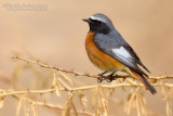 Common Redstart (Codirosso)
