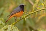 Eastern Black Redstart (Phoenicurus ochruros phoenicuroides)