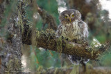 Eurasian Pygmy Owl (Civetta nana)