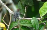 Herpsilochmus dugandi female.jpg