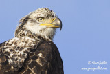 Pygargue - Sherbrooke #0496 portrait .jpg