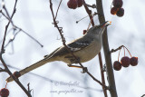 Moqueur polyglotte - Northern Mockingbird - 2 photos