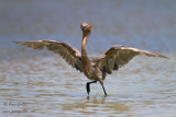Aigrette roussâtre (dont Morphe blanc) - Reddish Egret (incl. White Morph) - 8 photos
