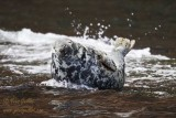 Phoque gris femelle #5715.jpg