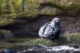 Phoque gris femelle #5702.jpg