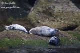Phoques gris mâle et femelles #5648.jpg