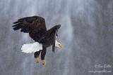 Pygargue  volant dans la neige #6942.jpg