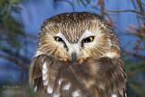 Petite nyctale - Northern Saw-Whet Owl - 19 photos