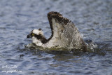 Balbuzard pêcheur se baignant #6774.jpg