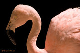 Flamant rose - greater Flamingo - 1 photo