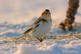 Bruant des neiges #0030.jpg