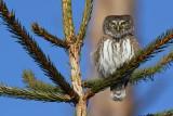 Sparvuggla - Pygmy Owl (Glaucidium passerinum)