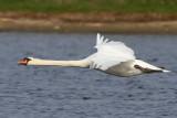 Knölsvan - Mute Swan (Cygnus olor)