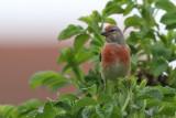 Hämpling - Linnet (Carduelis cannabina)
