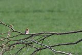 Rödhuvad törnskata - Woodchat Shrike (Lanius senator)