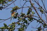 Biätare - European bee-eater (Merops apiaster)