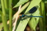 Blåbandad jungfruslända - Banded Demoiselle (Calopteryx splendens)