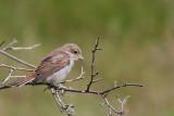 Törnskata - Red-backed Shrike (Lanius collurio)