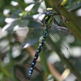 Blågrön mosaikslända - Blue Darner (Aeshna cyanea)