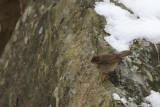 Brunsångare - Dusky Warbler (Phylloscopus fuscatus)