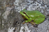 Lövgroda - European tree frog (Hyla arborea)