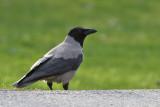 Kråka - Carrion Crow (Corvus corone)