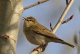 Lövsångare - Willow Warbler (Phylloscopus trochilus)