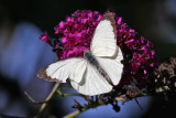 Kålfjäril - Large white (Pieris brassicae)
