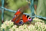 Påfågelöga - Peacock butterfly (Inachis io)