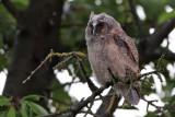 Hornuggla- Long-eared Owl (Asio otus)