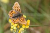 Storfläckig pärlemofjäril - Queen of Spain Fritallary (Issoria lathonia)