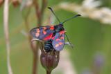 Sexfläckig bastardsvärmare - Six-spot Burnet (Zygaena filipenduae)