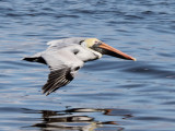 White & Brown Pelicans