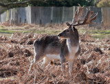 Week 8 Fallow_deer_221_46296.jpg