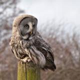 Week 9 Great_Grey_Owl_223_47078_S1000.jpg